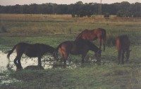 Mares Grazing at Allie's Farm