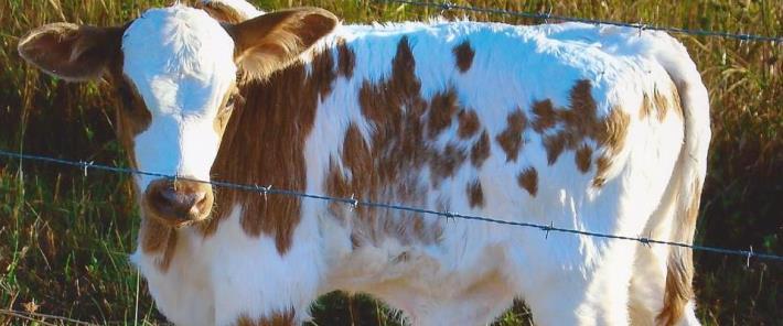 cow710